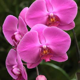Dark Pink Moth Orchids by Harold Rau