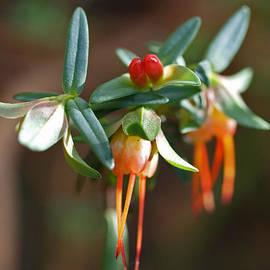 Darwinia citriodora Spray by Michaela Perryman