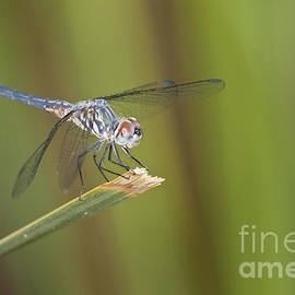 Dasher on a reed by Bryan Keil