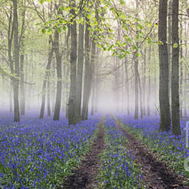 Dawn Bluebell Wood Panoramic by Tim Gainey