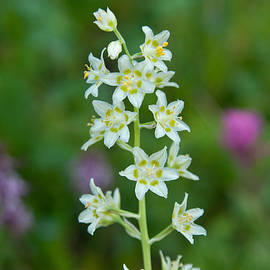 Death Camas Wildflower With Green Background by Cascade Colors