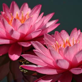 Linda Phelps - Deep Pink Water lily ans Echo