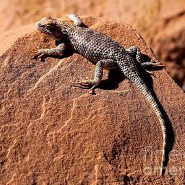 Marty Fancy - Desert Spiny Lizard
