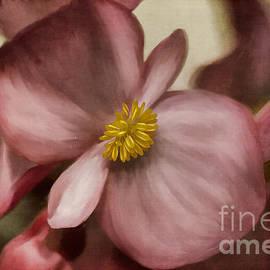 Lois Bryan - Dewy Pink Painted Begonia