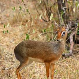 Amanda Stadther - Dik Dik Tsavo National Park Kenya