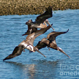 Diving Pelicans by Stephen Whalen