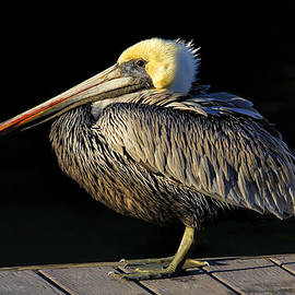 Dockmaster - Brown Pelican by HH Photography of Florida