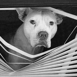 Dave Beckerman - Dog in Window Blinds
