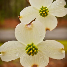 Dogwood Bloom by Terry Cotton