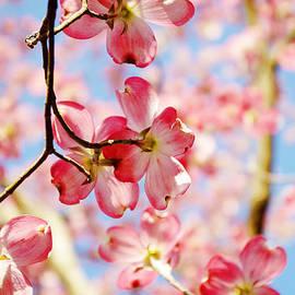 Dogwood Flowers by Sharon Popek