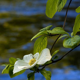 Dogwood on the Merced by Bill Gallagher