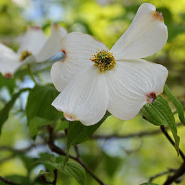 Dogwoods in Spring by Judy Vincent