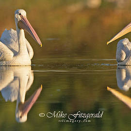 Double Pelicans by Mike Fitzgerald