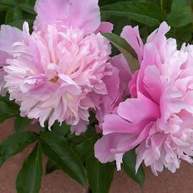 Double Pink Peonies by Paul - Phyllis  Stuart