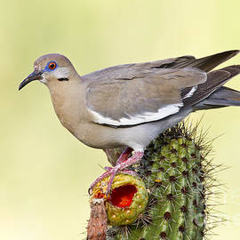 Dove perched on a cactus  by Bryan Keil