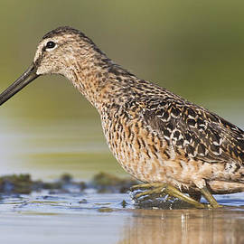Dowitcher in the water by Ruth Jolly