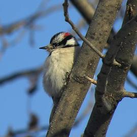 Teresa Schomig - Downy Woodpecker