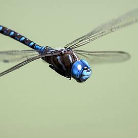 Dragonfly by David Millenheft