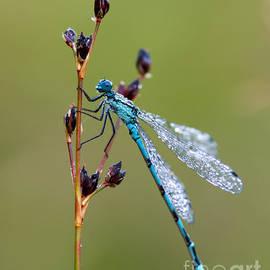 Dragonfly dew-sprinkled  by Torbjorn Swenelius
