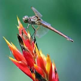 Cynthia Guinn - Dragonfly Feeding