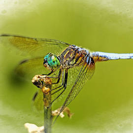 Dragonfly    by Geraldine Scull