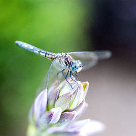 Dragonfly Hosta by Christopher McPhail
