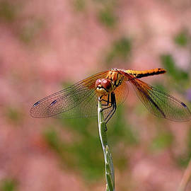 Dragonfly by Rona Black