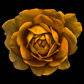Dramatic Golden Rose Portrait by Jennie Marie Schell