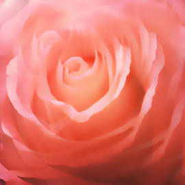Dreamy Pink Rose by Femina Photo Art By Maggie