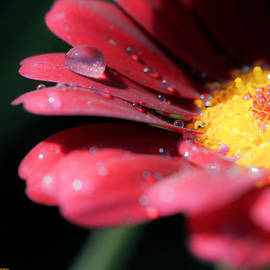 Drops in the flower by Antonio J Pizarro