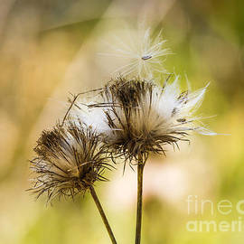 Dry Thistle by Mitch Shindelbower
