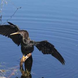 Christiane Schulze Art And Photography - Wet Anhinga