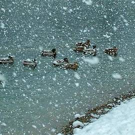 Rory Cubel - Ducks In River During Snowstorm
