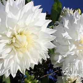 Two Lovely White Dahlias by Dora Sofia Caputo Photographic Design and Fine Art