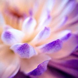 Dusted with Violet - Triptych 3 of 3 by Susan Maxwell Schmidt