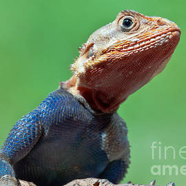 Beth Wolff - East African Rainbow Lizard