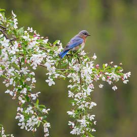 Eastern Bluebird Square by Bill Wakeley