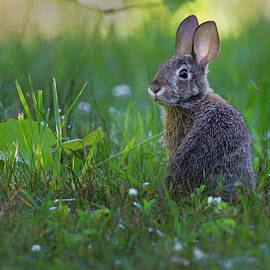 Eastern Cottontail by Bill Wakeley