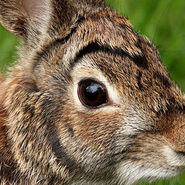 Eastern Cottontail  by Debbie Oppermann