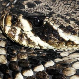 Judy Whitton - Eastern Diamondback Rattlesnake