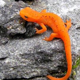 Lori Pessin Lafargue - Orange Julius the Eastern Newt