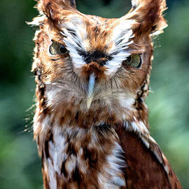 Eastern Screech-Owl by Bernd Laeschke