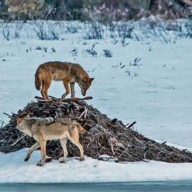 Steve Dunsford - Eastern Wolves