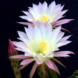 Echinopsis Flowers And Bud by Douglas Taylor