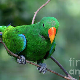 Eclectus Parrot-3 by Gary Gingrich Galleries
