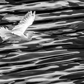 Egret Flying  by Jose Maciel