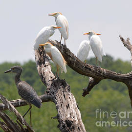 Egrets and Black Crown Night Heron by Ruth  Housley