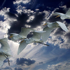 Egrets In Succession by Roy Williams