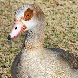 Shoal Hollingsworth - Egyptian Goose