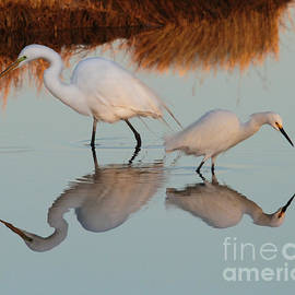 Roger Becker - Elegant Big and Small great white and snowy egrets
